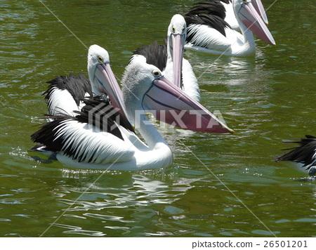 สัตว์,ภาพวาดมือ สัตว์,นก 26501201