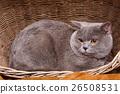 British Shorthair cat on a wooden basket 26508531
