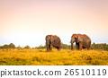African elephants 26510119