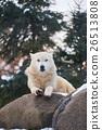 바위의 신린 늑대 26513808