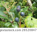 Sharimbai果实成熟为黑紫色 26520847
