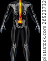 skeleton, skeletal, spinal 26523732