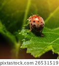 Ladybug or Ladybird or Lady beetle 26531519
