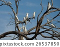 Cockatoos on a tree 26537850