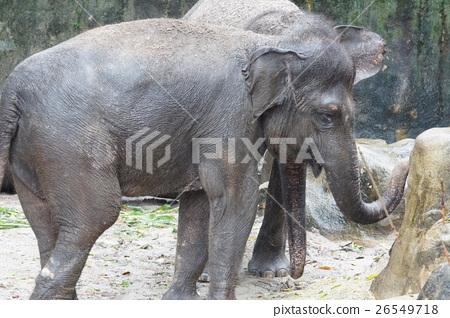 코끼리 26549718