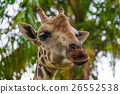 giraffe, neck, head 26552538