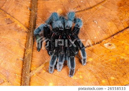 Selenocosmia javanensis tarantula spider 26558533