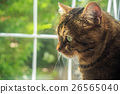 cat, tabby, striped 26565040