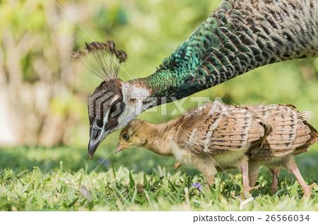 美麗的孔雀及幼鳥在美國洛杉磯 26566034