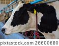 Dairy cows in a farm. 26600680