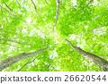 신록, 비진바야시, 너도밤나무 숲 26620544