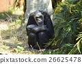 chimp, chimpanzee, animal 26625478