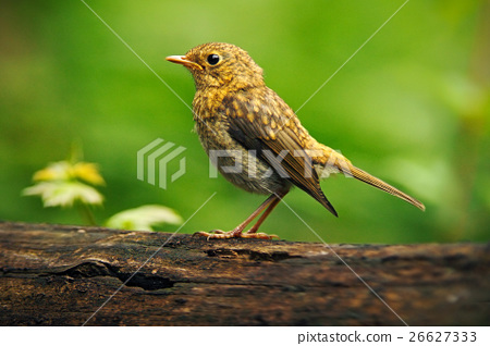 Song Thrush Turdus philomelos in the nature 26627333