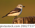 自然 南美 鸟儿 26627337
