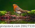 Orange songbird European Robin, Erithacus 26627339