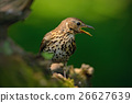 Song Thrush Turdus philomelos in the nature 26627639