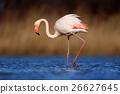 Greater Flamingo, Phoenicopterus ruber, beautiful 26627645