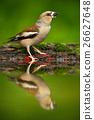 songbird, wilderness, standing 26627648