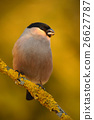 Bullfinch, Pyrrhula pyrrhula, sitting on yellow 26627787