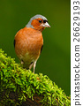 Chaffinch, Fringilla coelebs, orange songbird 26629193
