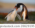 Feeding scene. Young gentoo penguin beging 26629195