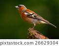 Chaffinch, Fringilla coelebs, orange songbird 26629304