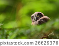 small, owl, bird 26629378