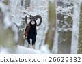 Mouflon, Ovis orientalis, winter scene with snow 26629382