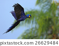 parrot, macaw, hyacinth 26629484