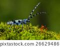 Beautiful blue incest with long feelers, Rosalia 26629486