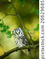 Small bird Boreal owl, Aegolius funereus, sitting 26629685