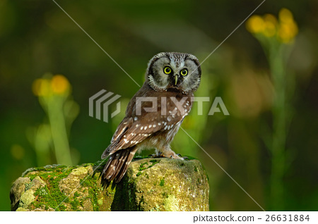 Small bird Boreal owl, Aegolius funereus, sitting 26631884