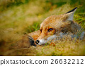 Cute Red Fox, Vulpes vulpes, animal at green 26632212