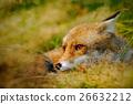 vulpes, red, fox 26632212