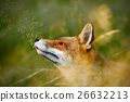 Cute Red Fox, Vulpes vulpes, animal at green 26632213