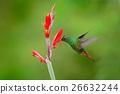 Rufous-tailed Hummingbird, Amazilia tzacatl, bird 26632244