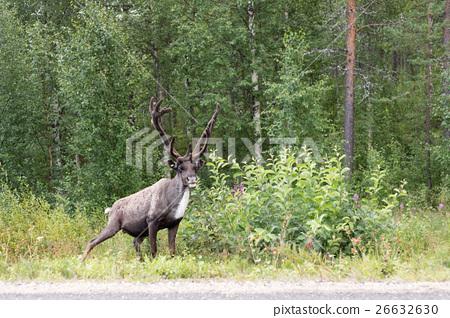 deer near the road 26632630