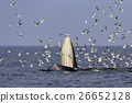 Bryde's whale of gulf of Thailand 26652128