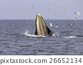 Bryde's whale of gulf of Thailand 26652134
