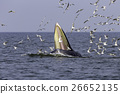 Bryde's whale of gulf of Thailand 26652135