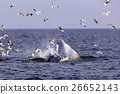 Bryde's whale of gulf of Thailand 26652143