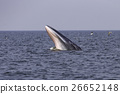 Bryde's whale of gulf of Thailand 26652148