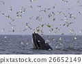 Bryde's whale of gulf of Thailand 26652149