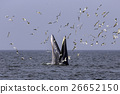 Bryde's whale of gulf of Thailand 26652150