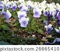 Viola of white and blue flowers 26665410
