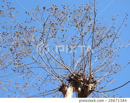 백일홍의 열매이다. 늦가을에 열매를 채취하여 말리면 씨앗을 채취 할 수있어 이제 더 늘릴 수있다. 26671384