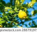 레몬, 유기 재배, 감귤류 26679197