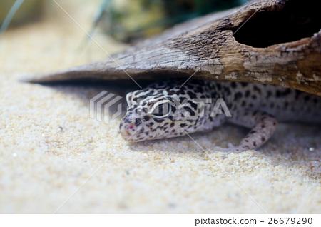 Leopard bamboo shoots Leopard gecko 26679290