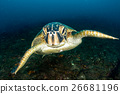 turtle coming to you in cabo pulmo mexico  26681196