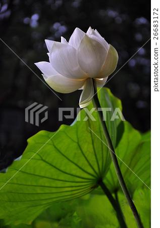 Lotus 26683172